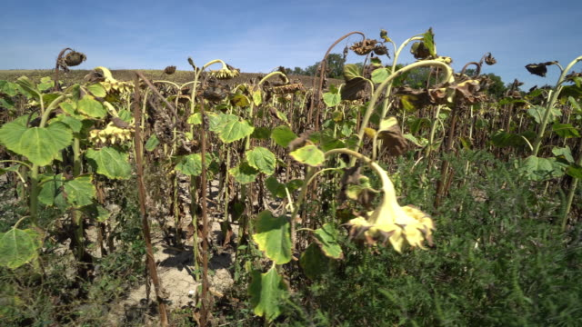 sunflower field dried up - drought stock videos & royalty-free footage