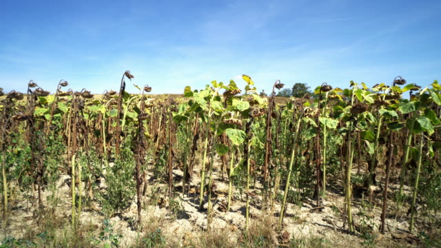 sunflower field dried up - drought stock videos and b-roll footage