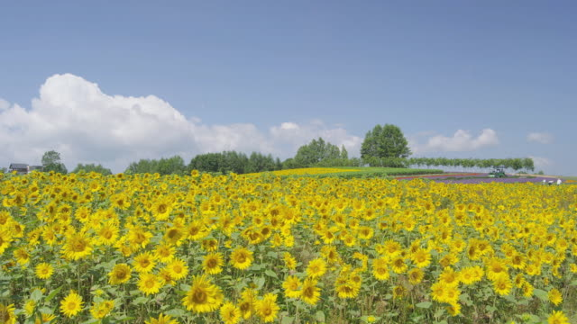 sunflower field in biei, hokkaido, japan - sunflower stock videos & royalty-free footage