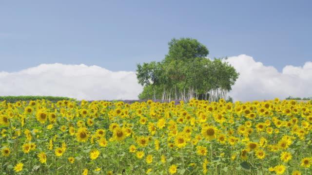 sunflower field in biei, hokkaido, japan - ヒマワリ点の映像素材/bロール