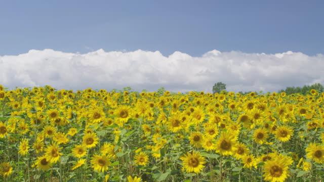 sunflower field in biei, hokkaido, japan - 農村の風景点の映像素材/bロール