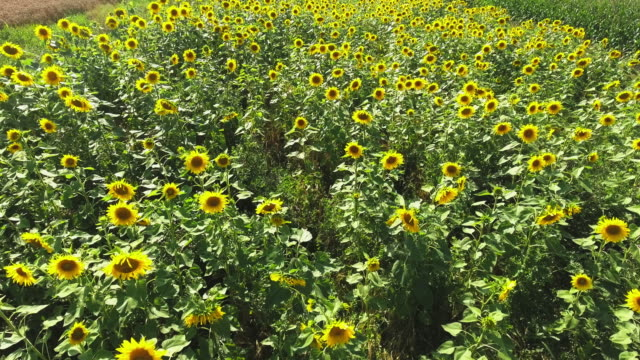 sunflower field in summer flyover - sunflower stock videos & royalty-free footage