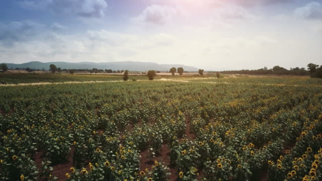 sunflower field in summer sunny day - tuscany stock videos and b-roll footage