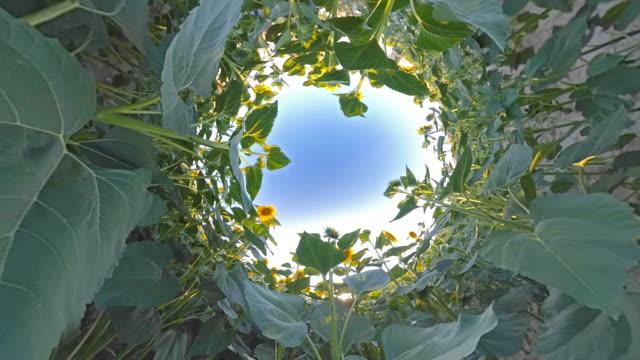 sunflower field on little planet format - sunflower stock videos & royalty-free footage