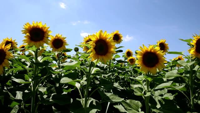 Sunflower field, slider shot
