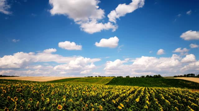 Sunflower Field Time Lapse