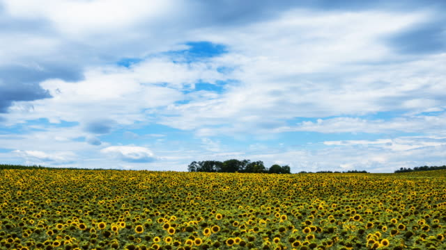 sunflower field time lapse - sunflower stock videos and b-roll footage