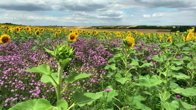 sunflower field - flower head stock videos & royalty-free footage