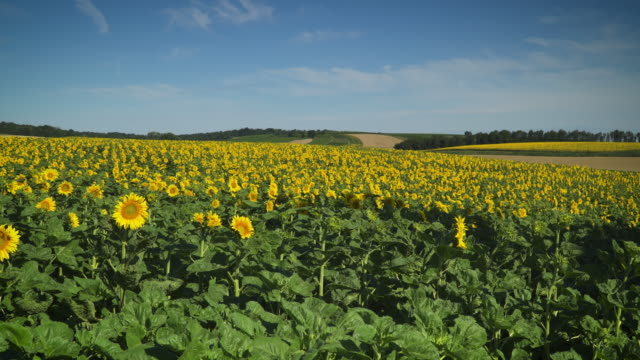 sunflower field - temperate flower stock videos & royalty-free footage