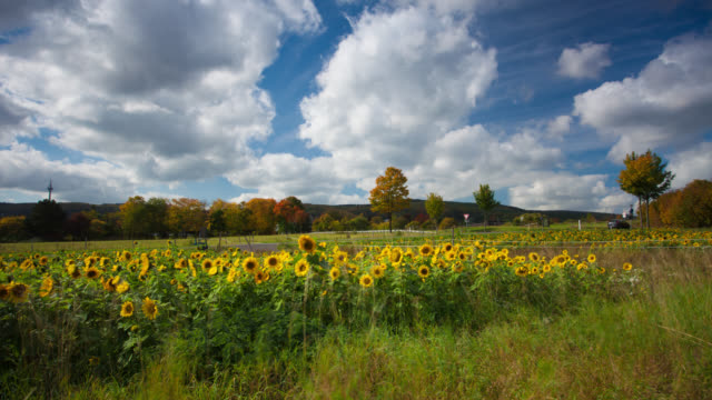 dolly time lapse: sunflower field - sunflower stock videos & royalty-free footage