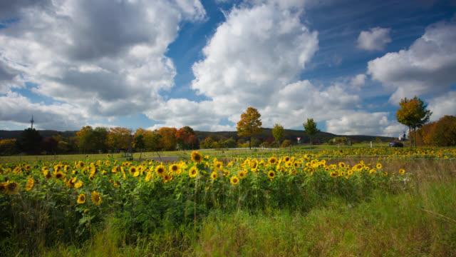 DOLLY ZEITRAFFER: Sonnenblume-Feld