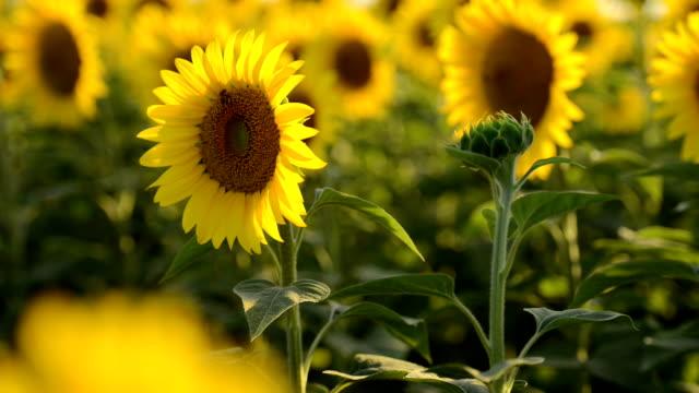 sunflower field - ozgurdonmaz stock videos and b-roll footage