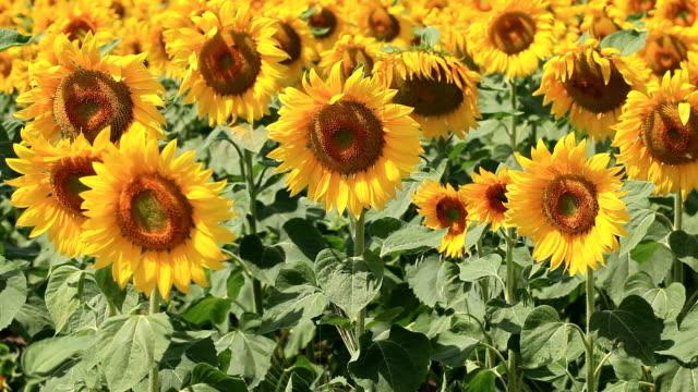 sunflower field - common sunflower stock videos & royalty-free footage