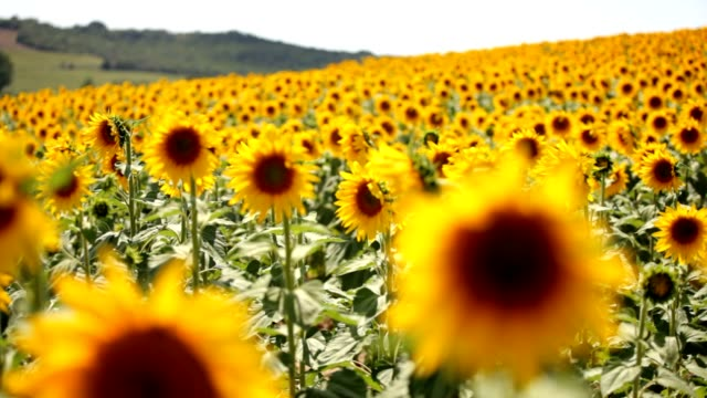 sunflower field - sunflower stock videos and b-roll footage