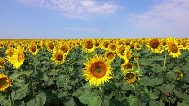 stockvideo's en b-roll-footage met zonnebloem veld - zonnebloem