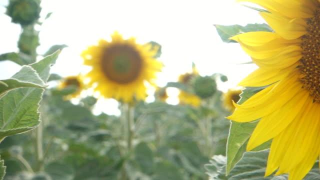 sunflower field. - ståndare bildbanksvideor och videomaterial från bakom kulisserna