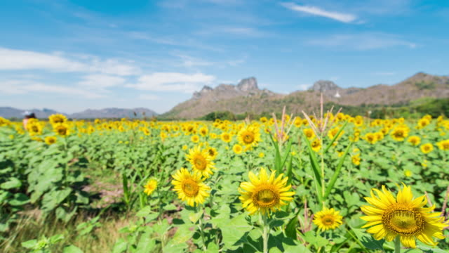 sunflower field with blue sky - realisticfilm stock videos and b-roll footage