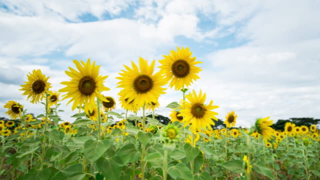 sunflower field with blue sky - sunflower stock videos and b-roll footage