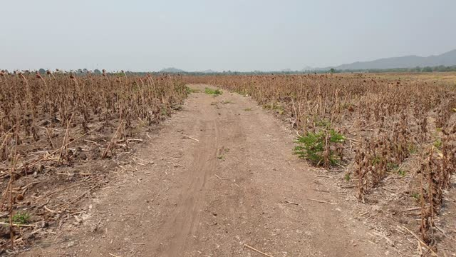 sunflower fields are affected by drought. - damaged stock videos & royalty-free footage