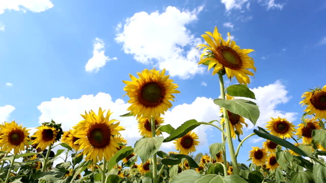 sunflower fields in the daytime. - sunflower stock videos & royalty-free footage