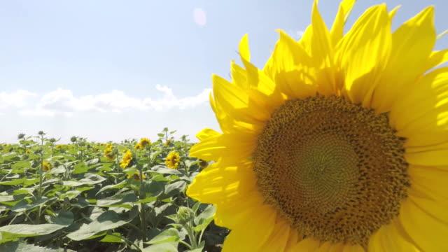 Sonnenblumen-Felder pan shoot