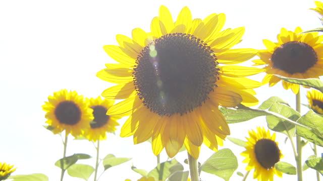 sunflower fields - ヒマワリ点の映像素材/bロール