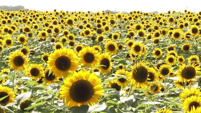 sunflower fields - satoyama scenery stock videos & royalty-free footage