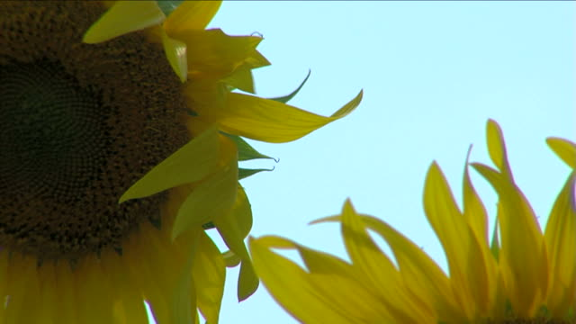fiore del girasole, in italia - fiore stock videos & royalty-free footage