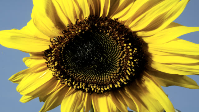 """sunflower flowering, timelapse"" - sunflower stock videos and b-roll footage"