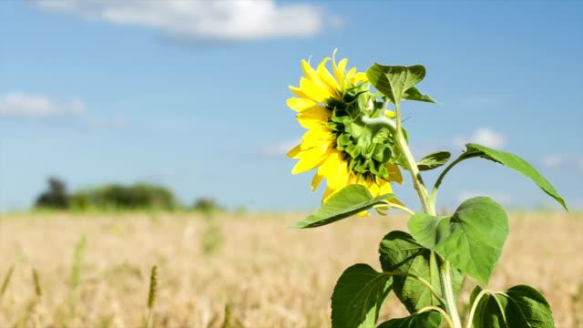 Sunflower growing among field of wheat.