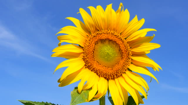 sunflower head with pollens and petals on blue sky backgrounds - hd 25 fps stock videos & royalty-free footage