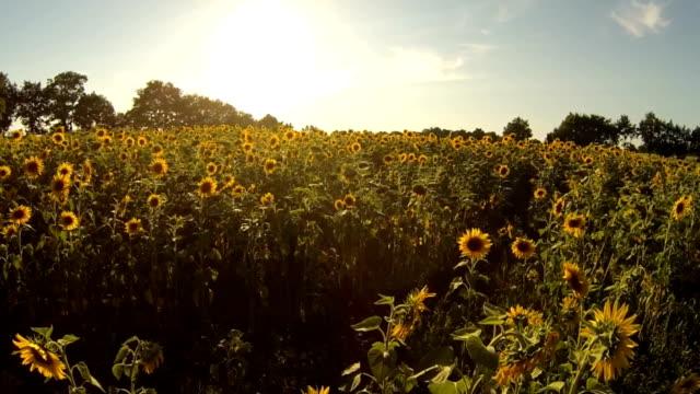 Sonnenblume Heaven