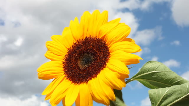 sunflower in a strong wind - frische stock videos & royalty-free footage
