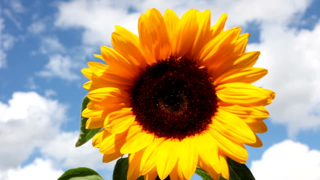 Sunflower in a strong wind