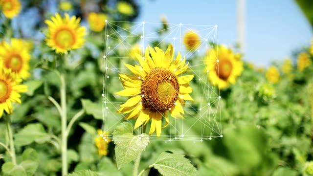 sonnenblume in der öko-bauernfarm mit info-grafik, turning cube connection und dots - zeichnung stock-videos und b-roll-filmmaterial