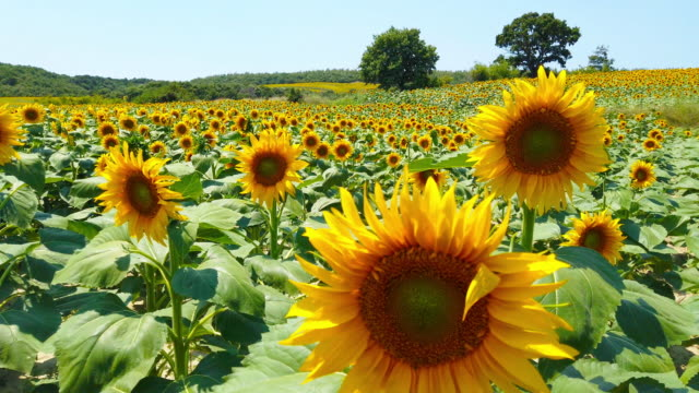 sunflower in sunny day - sunflower stock videos & royalty-free footage