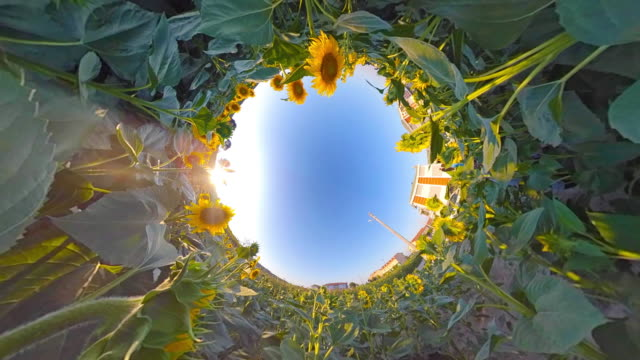 sunflower in sunny day - image stock videos & royalty-free footage