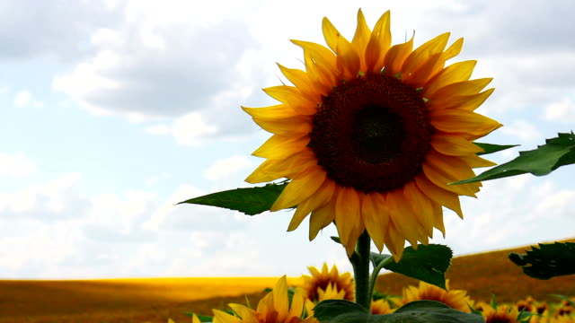 Sunflower in sunny day