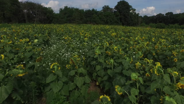 4K Sunflower Low flyover - beautiful - Drone Aerial view beautiful farm ranching and tracking of tractors and various agricultural things