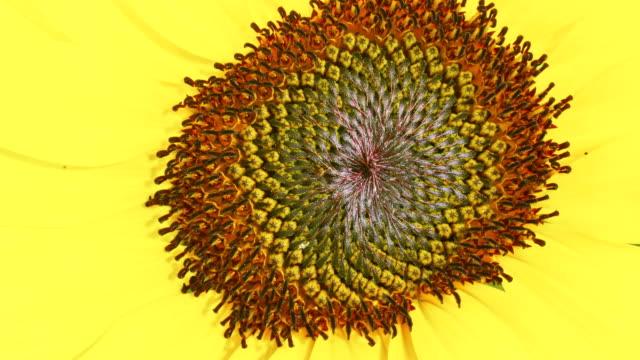 Sunflower macro shot blooming