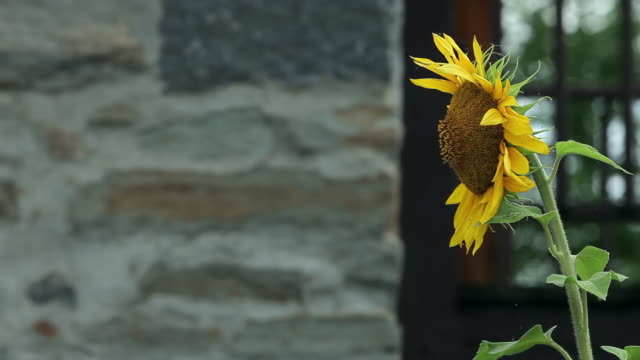 a sunflower moving slightly in the wind in front of a stone facade - staubblatt stock-videos und b-roll-filmmaterial