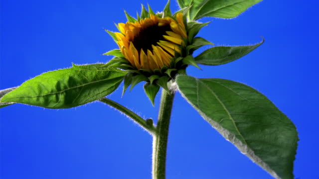 t/l, cu, sunflower opening against blue background - ヒマワリ点の映像素材/bロール