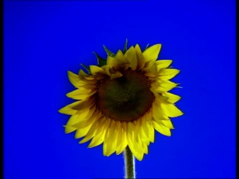 T/L CU Sunflower opening to camera, blue background