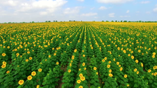 sunflower plantation, aerial video - meadow stock videos & royalty-free footage