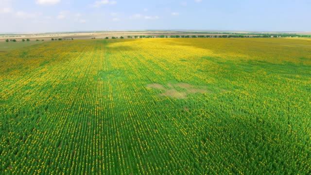 青空の背景、空撮にひまわり農園 - クワッドコプター点の映像素材/bロール