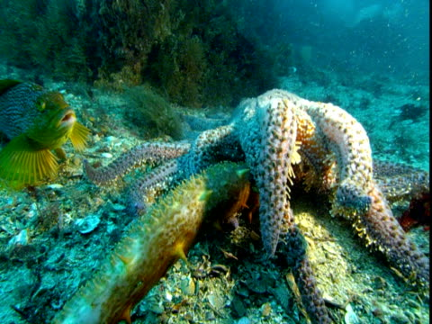 A sunflower sea star attacks a sea cucumber on the ocean floor.