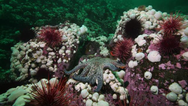 "tl sunflower sea star hunts on sea floor, canada - ""bbc natural history"" stock videos & royalty-free footage"