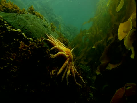 A sunflower seastar clings to a rock among kelp in Telegraph Cove, Canada.
