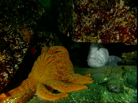 A sunflower seastar crawls around a rock in front of a wolf eel.