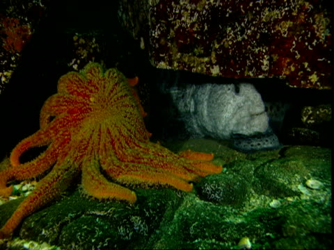 A sunflower seastar crawls around a rock near a hiding wolf eel.